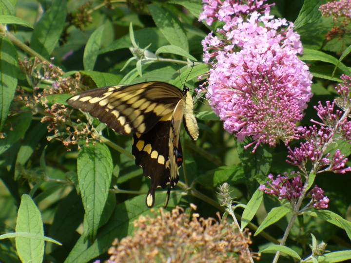 Butterfly Bush and Viceroy Butterfly, Hamilton 2010