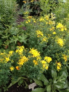 St. John's Wort first Harvest Apothecary's Garden  2013