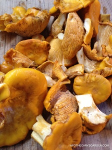 Wild Mushrooms-Chantrelles Princess Point Hamilton 2013