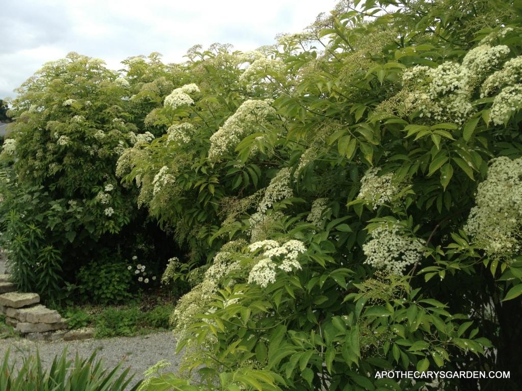 Elderberry Wine Elderberry Bush-Apothecary's Garden Teaching Gardens Hamilton