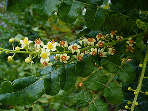 Frankincense leaf and flower. One of 7 commercial species including Boswellia Rivae