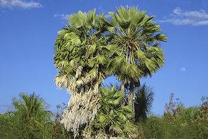 Carnauba Palm Copernicia Prunifera-Brazil
