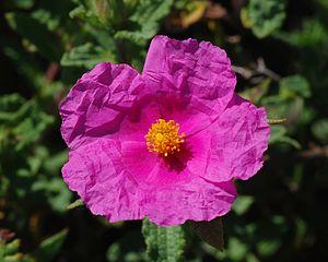 Cistus flower-Labdanum