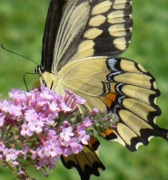 Butterfly and Buddleia, Hamilton 2009
