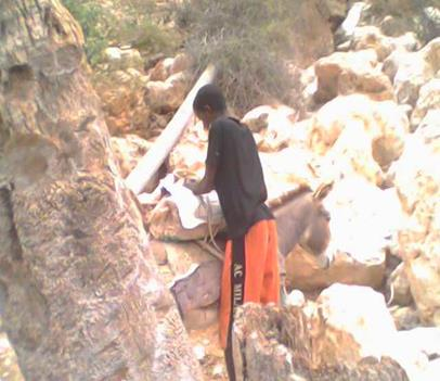 Young Frankincense harvester bringing his daily harvest down from dangerous rocky terrain where the Frankincense Frereana trees grow.