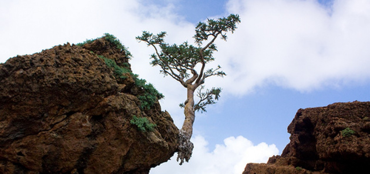 Cliff hugging, rock loving fragrant and healing Frankincense tree