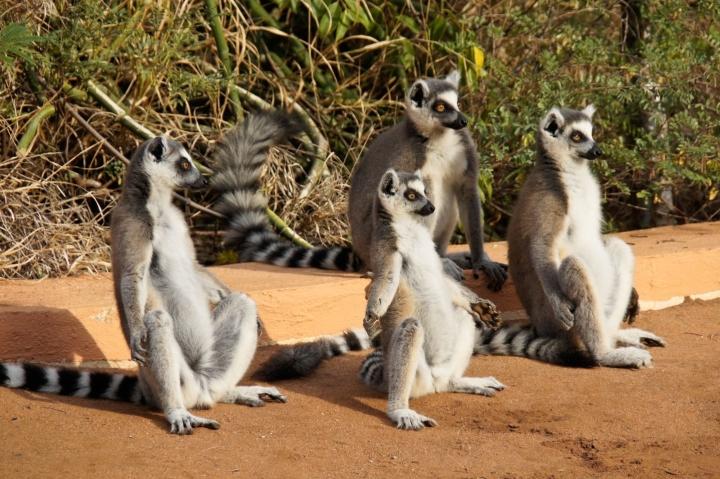 DJ78B2 Ring-tailed lemurs sunning themselves, Berenty Reserve, Madagascar